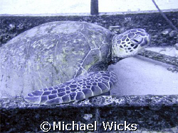 Sea Turtle at 96' depth hanging out on a ladder.  Taken o... by Michael Wicks