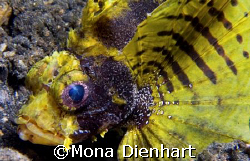 unusual yellow scorpionfish in the waters of Lembeh Strai... by Mona Dienhart