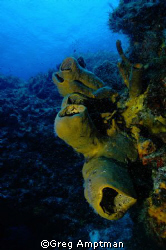 Barrel Sponges by Greg Amptman