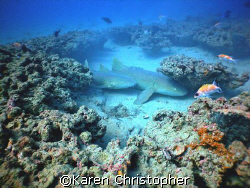 Two nurse sharks, an adult and juvenile, rest in a blow-o... by Karen Christopher