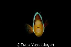 Clownfish taken at Sipadan Island,D200 2 Ys200 60mm. by Tunc Yavuzdogan