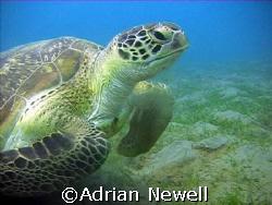 Green Turtle Marsa Alam by Adrian Newell
