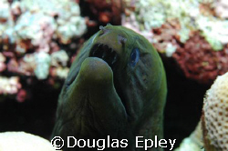 say ahhhhh, moray at Roma, wakatobi by Douglas Epley