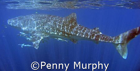 Mighty Whaleshark, Coral Bay Western Australia.   Love th... by Penny Murphy