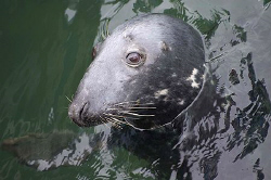 Grey Seal, Eyemouth, Scotland. Nikon D70 200mm lens by Mike Clark