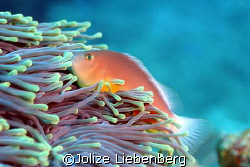 Red anemone fish at 7 Mile reef at Sodwana Bay, South Africa by Jolize Liebenberg