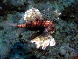 Lion Fish by Adrian Newell