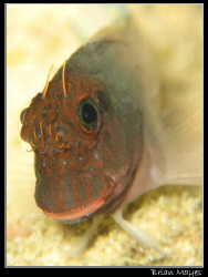 Cute but timid little Redlip Blenny......... Canon G7 plu... by Brian Mayes