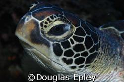 sea turtle taken at wakatobi, d70 with 60mm by Douglas Epley