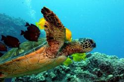 Turtle takes flight - Kona, HI by Ting Tsui