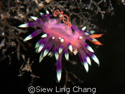 Flabellina laying eggs by Siew Ling Chang