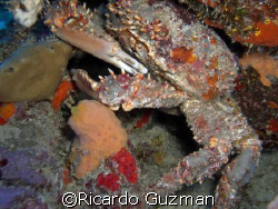 King Crab at The Forest dive site, La Parguera. by Ricardo Guzman