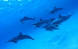 Dolphins in Red Sea by Ferretti J.Lou