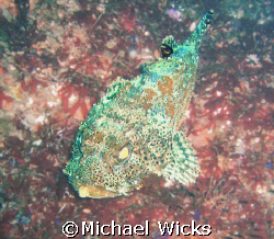 Rockfish off of Catalina Island by Michael Wicks
