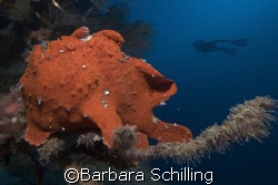 Diver with Frogfish in the front, taken in the Maldives by Barbara Schilling