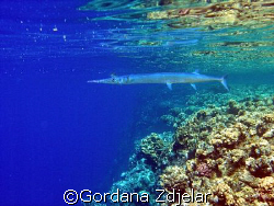 Needlefish in shallows by Gordana Zdjelar