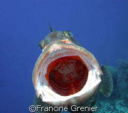 Grouper names Bob, loves interacting with divers and havi... by Francine Grenier