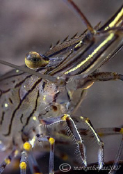 Common prawn. Aughrusmore Pier, Connemara. D200 60mm. by Mark Thomas