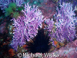Sea Urchins and Coral off of catalina island at about 110' by Michael Wicks