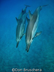 Spinner dolphins rest and play in the quiet bays of the K... by Don Bruschera