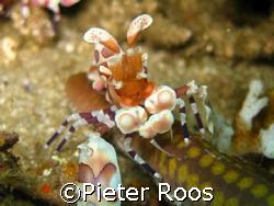 harlekin schrimp. costa rica at tortuga(key largo) taken ... by Pieter Roos