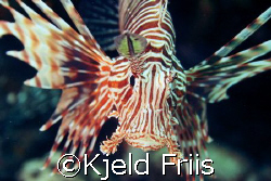 """""""You shoul see the other guy!""""  This Lion fish was out ... by Kjeld Friis"""