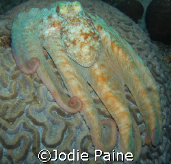 A brainy octopus.  Shot at night in front of our villa in... by Jodie Paine