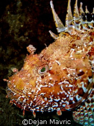 Nice scorpionfish was posing for me. Croatia, Adriatic.