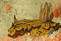 Nudibranch, Bermuda. by David Heidemann
