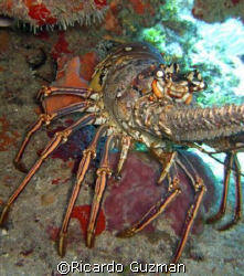 Spiny lobster at La Parguera. by Ricardo Guzman