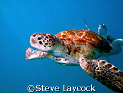 Green turtles swimming in blue water, the suns rays cutti... by Steve Laycock