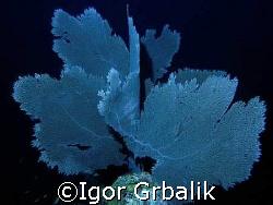 Sea Fan (Gorgonia ventalina), South-east of Dominican Rep... by Igor Grbalik