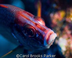 Squirrel fish taken near Bora Bora with 105mm macro lens by Carol Brooks Parker
