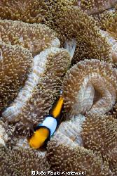 Anemonefish - Amphiprion chrysopterus by João Paulo Krajewski