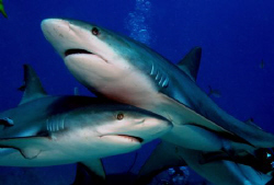 These two sharks try to post for me at the same time. by Ting Tsui