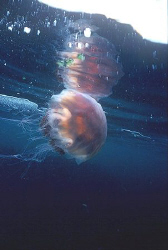 Lions Mane Jellyfish drifting near the surface, Nikon F90... by Mike Clark