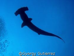 Hammerhead shark Darwin - Galapagos by Gyorgy Gutierrez