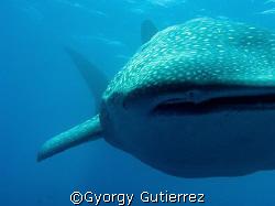 Whale Shark Darwin - Galapagos by Gyorgy Gutierrez