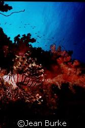 Lionfish  Fiji by Jean Burke