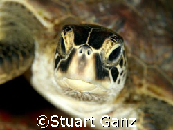 Green sea turtle. Taken @ Sharks Cove, Oahu Hawaii. This ... by Stuart Ganz