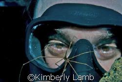 Curious Arrow Crab/Caymans/Nikon D80/60mm lens/Aquatica h... by Kimberly Lamb