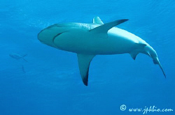 Shark Osprey Reef - Coral Sea  by João Paulo Krajewski
