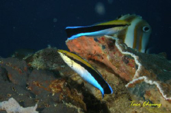 Cleaner wrasse at Moalboal with my Olympus C 7070 by Taco Cheung
