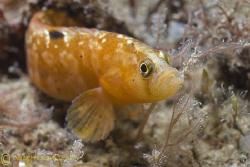 Butterfish. North Wales. D200, 60mm. by Derek Haslam