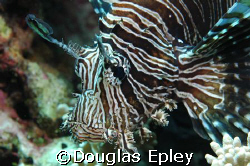 llioonfish, taken at wakatobi. d70 with 60mm by Douglas Epley