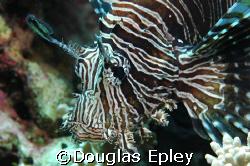 llioonfish, taken at wakatobi. d70 with 60mm by Douglas Epley