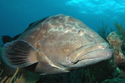 Grouper.  Nikon D70, 12-24 mm lens. by David Heidemann