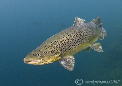 Brown Trout. Capernwray. D200 10.5mm. by Mark Thomas