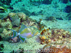 Trigger fish swimming by.  sea and sea 6.1 by Karen Upchurch