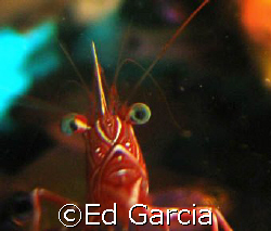 A Camel Shrimp that curiously approached the camera lens ... by Ed Garcia